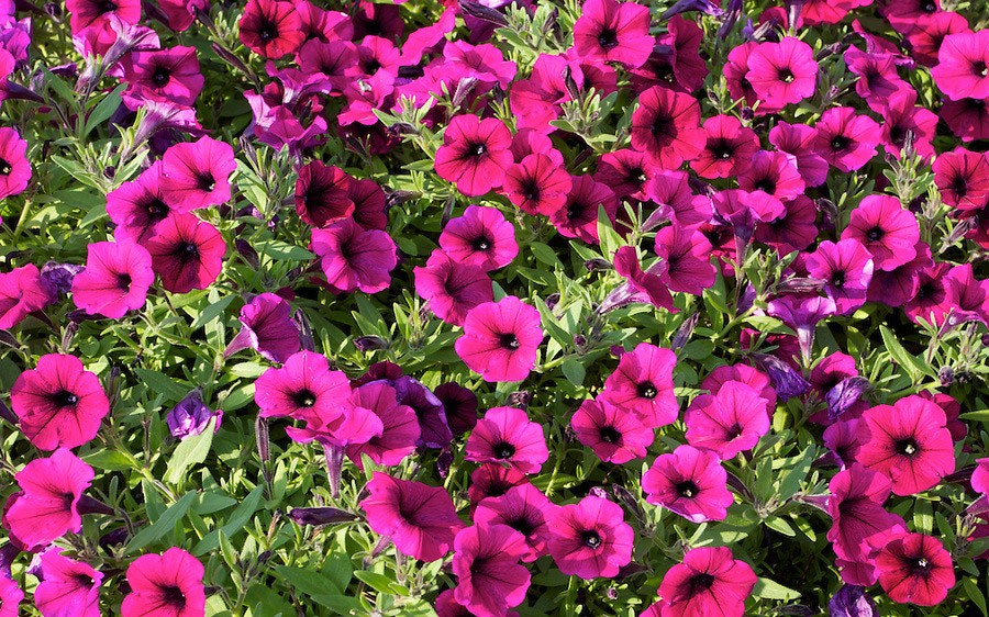 Shockwave Deep Purple Petunia 820411 Petunia hybrida 'Shockwave Deep Purple'