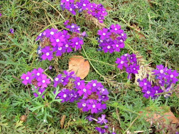 verbena_tenuisecta_photo_by_forest_and_kim_starr