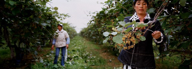 01 Jun 2006, Saluzzo , Italy --- Italy - China - Immigration - Workers - Kiwi Plant --- Image by © Marco Bulgarelli/Corbis