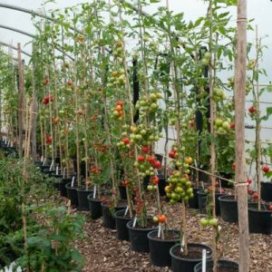 tomato-growing-greenhouse-1