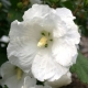 Hibiscus, zamosita alba (Hibiscus William R Smith)