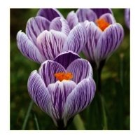 Bulbi de Branduse (Crocus), King of the Striped, 1 bulb
