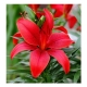 Bulbi de Crini(Lilium) - Asiatic Red, 1 bulb