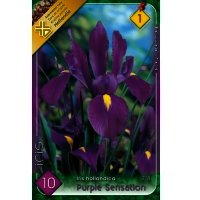 Bulbi Iris Hollandica purple Sensation, 10 bulbi