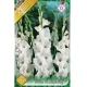Bulbi Gladiole White Prosperity, 10 bulbi