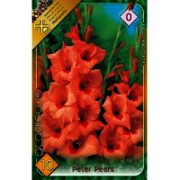 Bulbi Gladiole Peter Pears, 10 bulbi