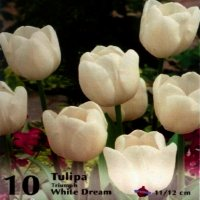 Bulbi lalele White Dream , 10 bulbi