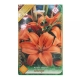 Bulbi Crin Asiatic Orange , 1 bulb