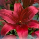 Bulbi Crin Asiatic Red , 1 bulb