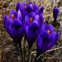 Bulbi Branduse (Crocus Barrs purple), Barrs purple