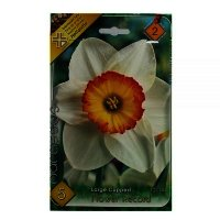 Bulbi narcise Flower Record, 5 bulbi