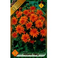 Bulbi Dalia Autumn fairy Holland Park, calitatea I