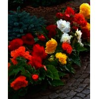 Bulbi Begonia Fimbriata Mixed, 3 bucati