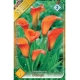 Bulbi Calla Zantedeschia Orange, 1 bucata