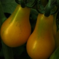 Seminte Tomate Yellow Pearshaped